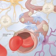 Brain capillaries